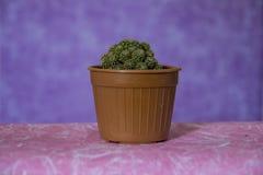 Cactus 16 stock images