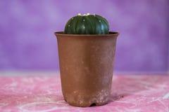 Cactus 13 stock photo
