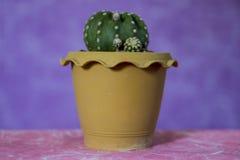 Cactus 12 royalty free stock image