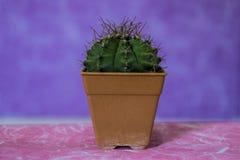 Cactus 11 royalty free stock image