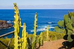 Cactus near the sea Playa del Bolluyo. Cactus on the hill above Playa del Bolluyo on Tenerife Royalty Free Stock Images