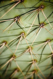 Cactus needles Stock Photography