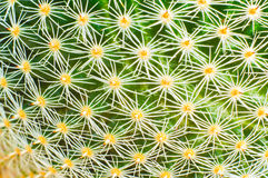 Cactus with needles Royalty Free Stock Photography