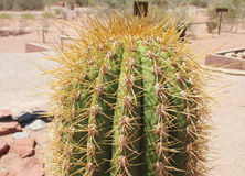 Cactus needles Royalty Free Stock Photography