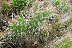 Cactus needles royalty free stock photos