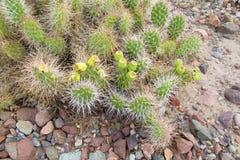 Cactus with needles on stones stock photo