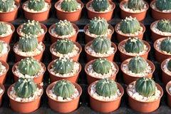 Cactus, negozio dell'albero del cactus con l'allevamento nella casa da vendere il fuoco selettivo Immagine Stock Libera da Diritti