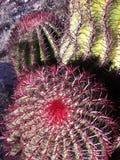 Cactus nel dessert San Luis Potosi, Messico Fotografia Stock