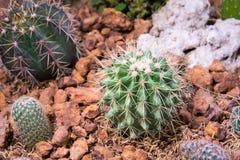 Cactus nel giardino Fotografia Stock Libera da Diritti