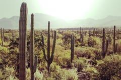 Cactus nel Messico fotografia stock libera da diritti