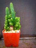 Cactus nel vaso Immagine Stock Libera da Diritti