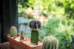 Cactus nel vaso di plastica immagini stock libere da diritti