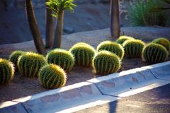 Cactus nell'immagine dei megapixels della pianta 50 del Messico Los Cabos Fotografie Stock