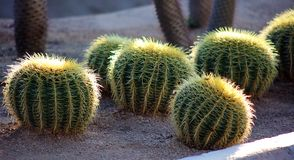 Cactus nell'immagine dei megapixels della pianta 50 del Messico Los Cabos Fotografia Stock