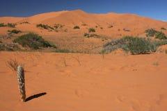 Cactus nella duna di sabbia Fotografie Stock Libere da Diritti