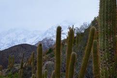 Cactus nella riserva nazionale di RÃo Blanco, Cile centrale, un'alta valle di biodiversità nel Los le Ande Immagini Stock Libere da Diritti