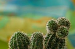 Cactus nella rugiada su un fondo di colore Immagini Stock
