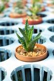 Cactus nella scuola materna della pianta Fotografia Stock Libera da Diritti