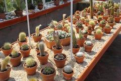Cactus nella serra Fotografie Stock