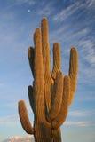 Cactus nella sosta nazionale del Saguaro Fotografie Stock