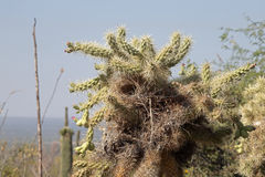 Cactus Nest Royalty Free Stock Image