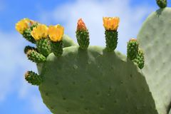 Cactus nopal flowers Royalty Free Stock Images