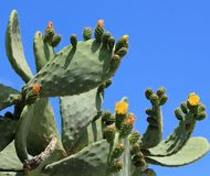 Cactus nopal flowers Stock Images