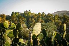 Cactus Nopal and mountains in Mexico. Stock Photos