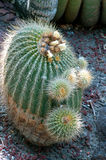 Cactus Notocactus Claviceps Stock Photography