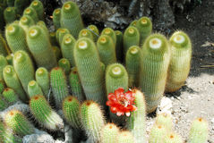 Cactus Notocactus leninghausii Stock Photos