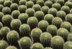 Cactus Nursery Royalty Free Stock Photography