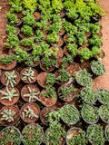 Cactus Nursery. A part of a nursery which has cactus family plants Stock Images