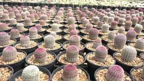 Cactus in the nursery. A variety of cactus in the nursery, Thailand stock video