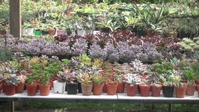Cactus in the nursery. A variety of cactus in the nursery, Thailand stock footage