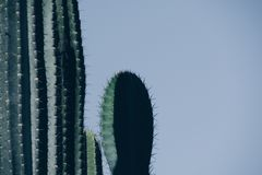 Cactus o cactus fotografie stock libere da diritti