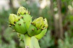 Cactus o higo chumbo invertebrado en la floración Foto de archivo libre de regalías