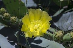Cactus o higo chumbo invertebrado en la floración Imágenes de archivo libres de regalías