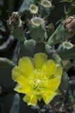 Cactus o higo chumbo invertebrado en la floración Imagenes de archivo