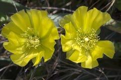 Cactus o higo chumbo invertebrado en la floración Fotos de archivo