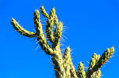 Cactus onder blauwe hemel Stock Foto