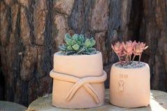 Cactus op bloempot Royalty-vrije Stock Foto