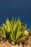 Cactus op een klip Stock Foto