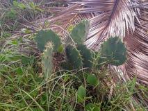 Cactus op het strand van Porto DE Galinhas op de noordoostelijke kust van Brazilië royalty-vrije stock fotografie