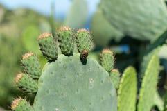 Cactus op Ikaria, Griekenland Stock Foto's