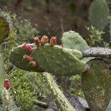 Cactus op La Palma Royalty-vrije Stock Foto's