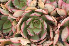 Cactus op Lanzarote Royalty-vrije Stock Foto