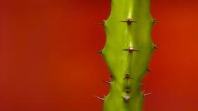 Cactus op rode achtergrond Stock Fotografie