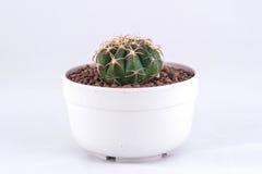 Cactus op witte achtergrond wordt geïsoleerdg die Royalty-vrije Stock Foto's