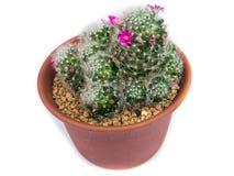 Cactus op witte achtergrond wordt geïsoleerdg die Stock Foto