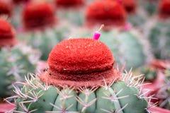 Cactus operato nel giardino fotografia stock libera da diritti